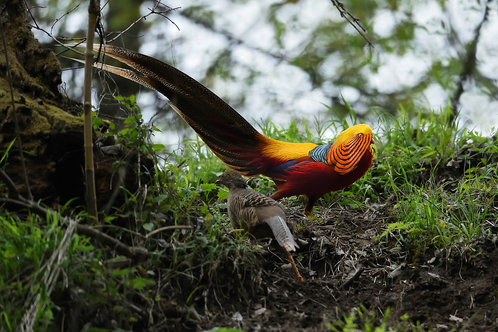 Golden pheasant, Chrysolophus pictus, in TangjiahTangjiahe National Nature Reserve, Sichuan Province; China
