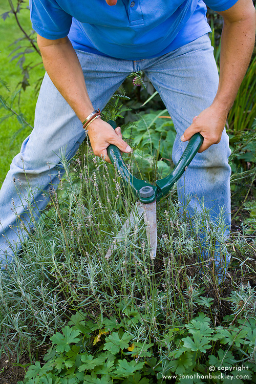 Clipping a lavender with shears after it has finished flowering