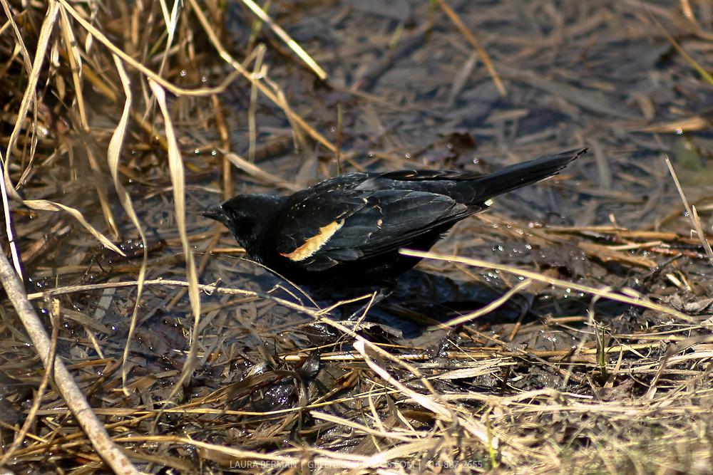 Red-winged blackbird (Agelaius phoeniceus)