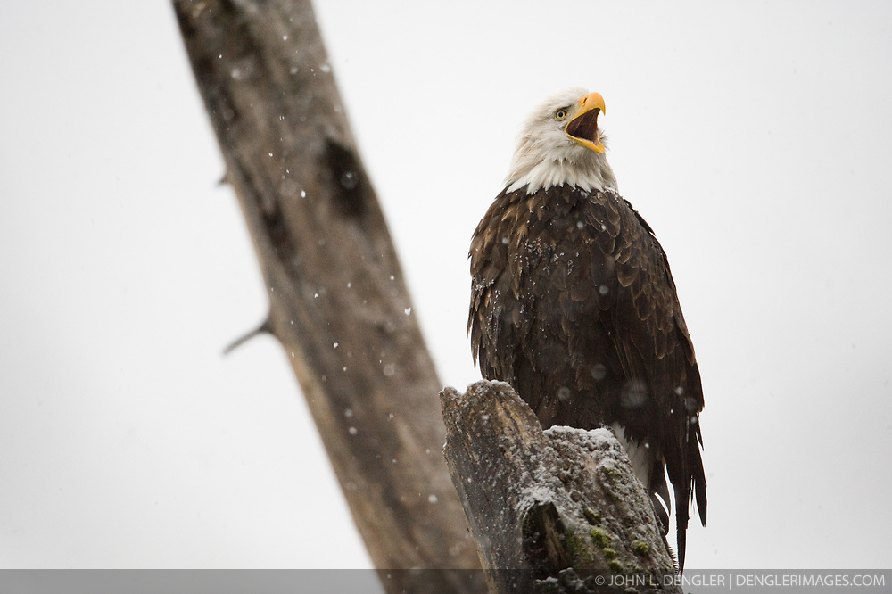 A bald eagle (Haliaeetus leucocephalus) sits in a tree and calls as it snows in the Alaska Chilkat Bald Eagle Preserve along the Chilkat River near Haines, Alaska. During late fall, bald eagles congregate along the Chilkat River to feed on salmon. This gathering of bald eagles in the Alaska Chilkat Bald Eagle Preserve is believed to be one of the largest gatherings of bald eagles in the world.