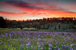 """""""Sagehen Meadows Sunset 4"""" - Photograph of a vibrant sunset above Camas wildflowers and Stampede Reservoir at Sagehen Meadows."""