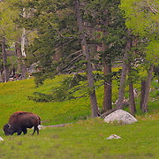 Grazing Bison Wide View - Lamar Valley - Yellowstone National Park