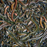 Asia, China, Chongqing. A bucket of squirming water snakes (eels) at a local street market in Chongqing.