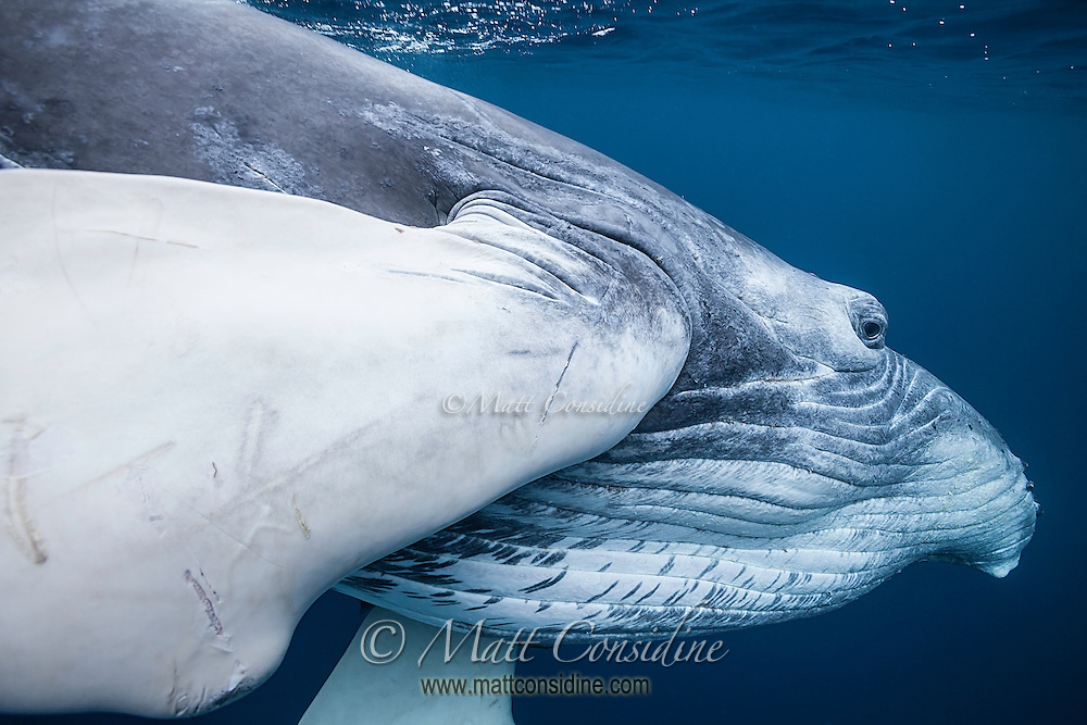 This baby humpback is around 25 feet long and already has a few scars. The young humpbacks are very curious and playful and make repeated passes, getting so close I was gently hit by the tail despite my best efforts to get out of the way. It certainly did not phase the calf, since it came back again and again. (Photo by Underwater Photographer Matt Considine)