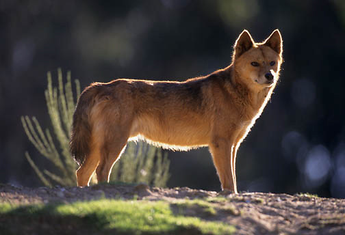 Dingo (Canis familiaris) in Austrailia.  Captive Animal.