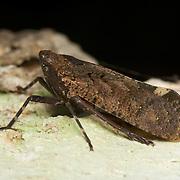 Penthicodes pulchella, planthopper (Fulgoridae), Huai Kha Khaeng Wildlife Sanctuary, Thailand.