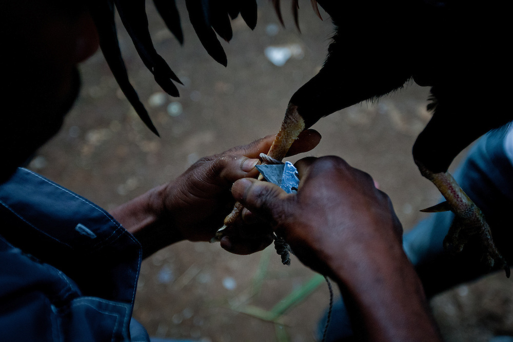 A participant sharpens the rooster's talons with a blade before the fight .<br /> <br /> Cockfighting or &quot;Cok Kages&quot; is Haiti's national passion.  Many argue that this sport serves as a form of entertainment and distraction where many could release their frustration and aggression in a safe arena.  The sport is legal in Haiti and less vicious since they don't attach blades to their feet. This event usually takes place on Sundays throughout Haiti.