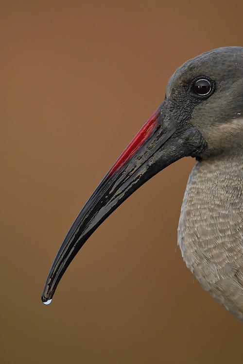 Hadada or Hadeda ibis (Bostrychia hagedash), Zimanga Private Nature Reserve, KwaZulu Natal, South Africa