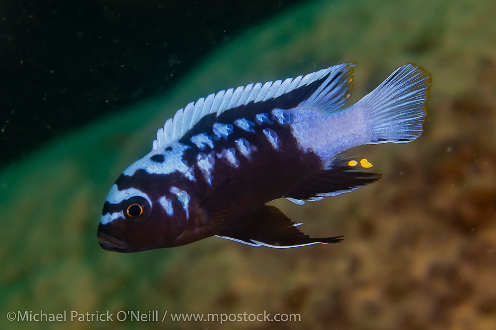 A male Cynotilapia zebroides with an unusual coloration swims near a rocky reef at Likoma Island, Lake Malawi, Malawi, Africa. Unusual coloration, possibly a mutation.