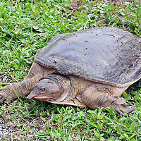 Florida Softshell Turtle, Trionyx ferox, crawling. Shark River Slough, Everglades National Park, Florida, USA