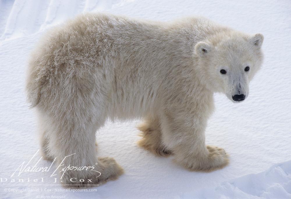 Polar Bear (Ursus maritimus) cub. Churchill, Manitoba, Canada