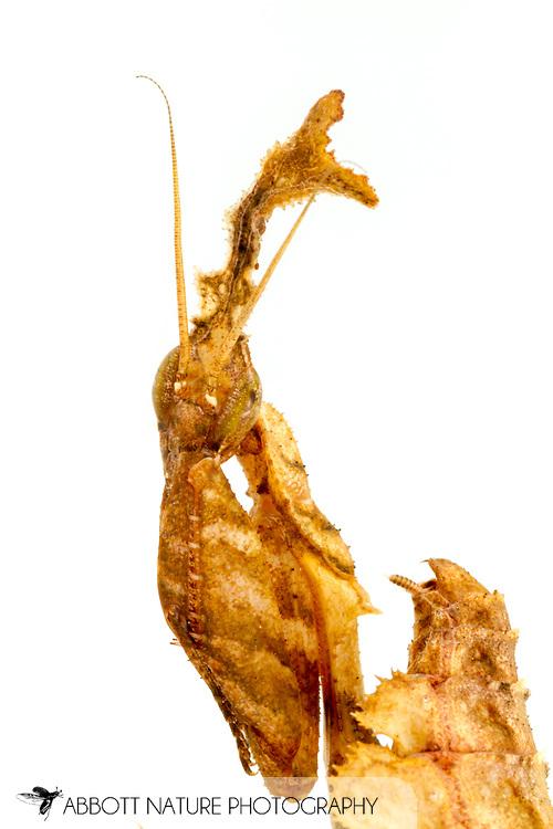 Ghost Mantis (Phyllocrania paradoxa) - female<br /> captive reared individual<br /> 9-Feb-2017<br /> J.C. Abbott &amp; K.K Abbott