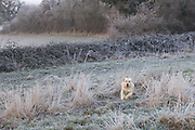 A golden retriever bounding through the frosted grass on an early morning walk in the countryside.