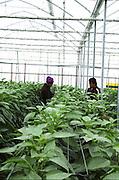 Israel, Jordan Valley, Doshan Farm, Organic Bell Peppers (Capsicum annuum) in a greenhouse Farmhand picking the fruit