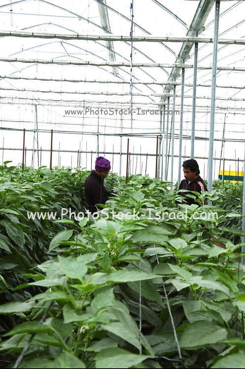 Israel, Jordan Valley, Doshan Farm, Organic Bell Peppers (Capsicum annuum) in a greenhouse Farmhand picking the fruit