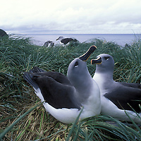Chile, Diego Ramirez Islands, Gray-headed Albatross (Diomedea chrystoma) nesting in tall grass on cliffs