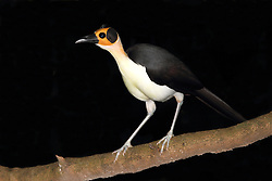 White-necked Rockfowl (White-necked Picathartes), Picathartes gymnocephalus, Bonkro, Ghana, by Adam Riley
