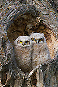 Great horned owl chicks in Wyoming