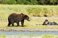 A large brown bear (Ursus arctos) foraging for salmon along Geographic Creek walks past a prostrate photographer in Geographic Harbor in Katmai National Park. Summer. Afternoon.
