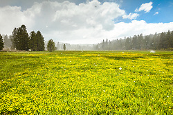 """Snowy Sagehen Meadows 4"" - Photograph of snow lightly falling on a field of Buttercup wildflowers at Sagehen Meadows, near Truckee, California."