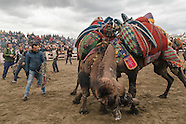 Turkish Camel Wrestling in Selçuk