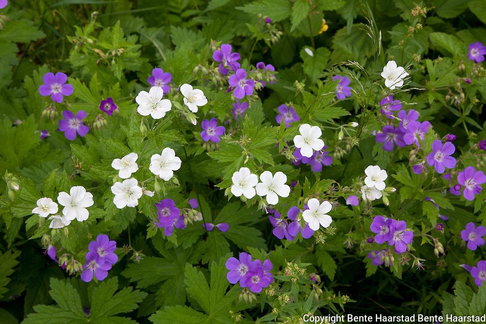Geranium sylvaticum, skogstorkenebb.