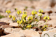 Yellow Desert Bloom After a rare rainy season in the Negev Desert, Israel, an abundance of wildflowers sprout out and bloom. Photographed in Wadi Zin, Negev, Israel in March