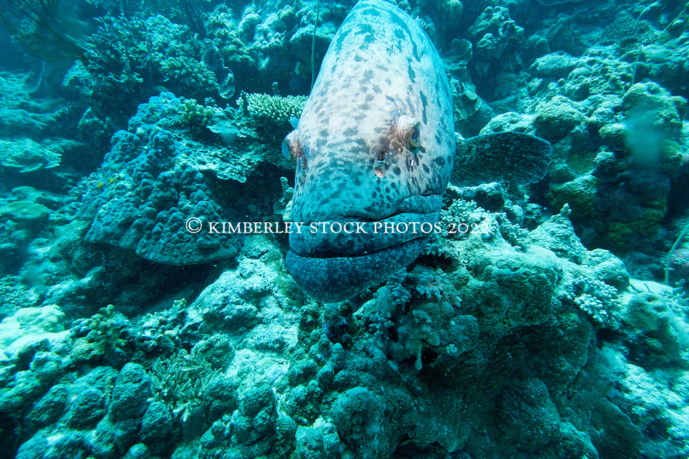 """Cuddles"" the Potato Cod at 'Cod Hole', Mermaid Reef."