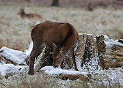 © Licensed to London News Pictures. 14/01/2013. Richmond, UK A young deer eats snow. Deer and people in the light dusting of snow at Richmond Park this morning. Snow hits the many parts of the UK today 14th January 2013. Photo credit : Stephen Simpson/LNP