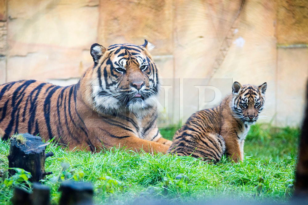 © Licensed to London News Pictures. 21/12/2017. Kirby Misperton UK. A Tiger cub born in August sits with her father Buwa today as she took her first steps outside today at Flamingo Land zoo in Yorkshire. The female cub is so far un-named & is the cub of Bawa & Surya. The new arrival was the culmination of seven years of hard work by Flamingo Land animal carers in their attempts to protect the critically endangered species. Photo credit: Andrew McCaren/LNP