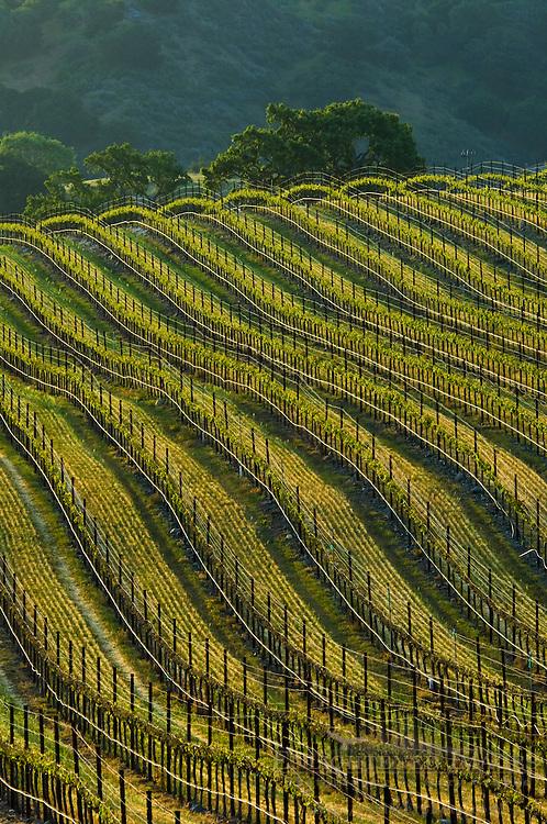 Rows of wine grape vines in Vineyard in the Santa Ynez Valley, Santa Barbara County, California