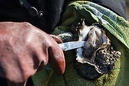Iver Gram 'shucks' an oyster, fresh from the Wadden Sea on Denmark's south west coast. Iver runs a nature tour company called Oyster Safari. Commissioned by National Geographic Traveller.