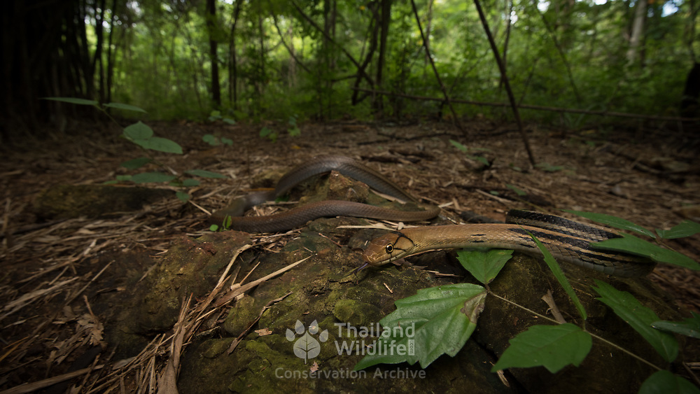Radiated Rat Snake (Coelognathus radiatus) in Kanchanaburi, Thailand