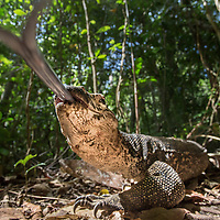 A monitor lizard, Varanus palawanensis, flicks its forked tongue towards the camera in the forests of Palawan, the Philippines