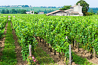 France, Saint-Émilion. Vineyard just outside the town.