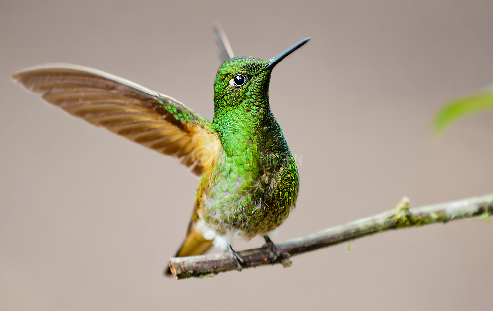 Buff-tailed Coronet (Boissonneaua flavescens) from Mindo, Ecuador
