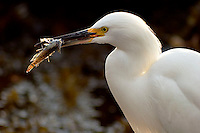 Snowy Egret (Egretta thula) Eating Fish, Little Corona Del Mar Beach, California