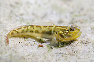 Goby Collection
