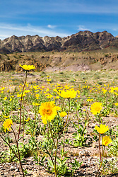 """Death Valley Wildflowers 2"" - Photograph of yellow wildflowers in Death Valley, near the Ibex Dunes area."
