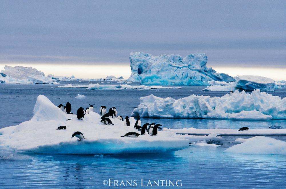 Adelie penguins on ice, Pygoscelis adeliae, Weddell Sea