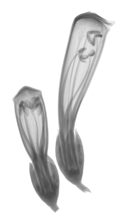 X-ray image of trumpet vine buds (Campsis radicans, black on white) by Jim Wehtje, specialist in x-ray art and design images.