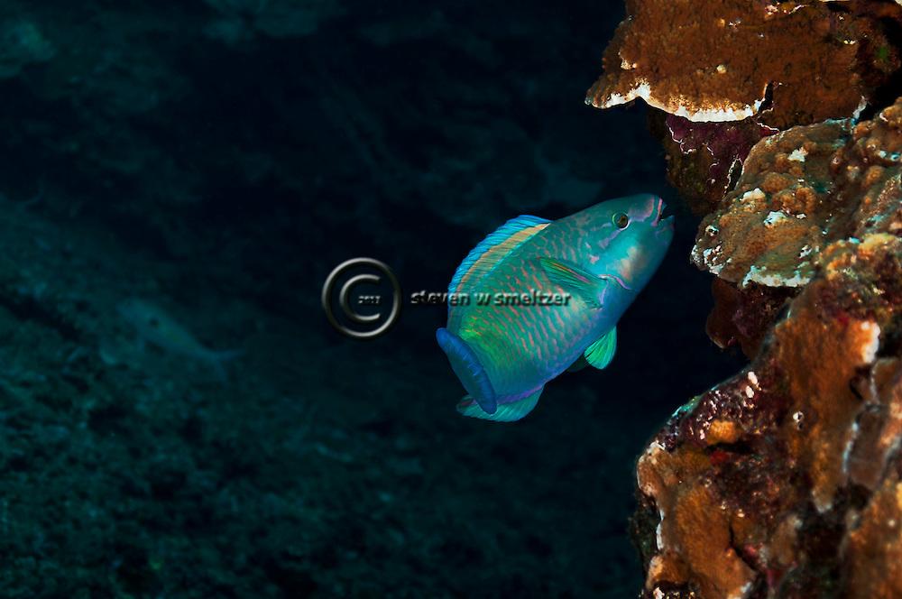 Bullethead Parrotfish, Chlorurus spilurus, Lanai Hawaii
