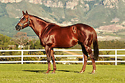 Horse Chestnut (stallion) stands for a confirmation image at Drakenstein Farm. Image by Greg Beadle Images captured by Greg Beadle