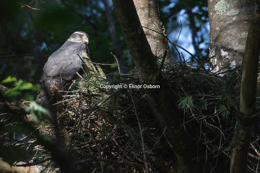 Northern Goshawk at nest
