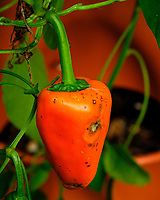 Peppers in my Grow Towers. Image taken with a Fuji X-H1 camera and 80 mm f/2.8 macro lens + 1.4x teleconverter.