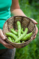 Basket of picked broad beans