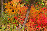 A Vine Maple (Acer circinatum) displaying a variety of its fall colors grows around a tree still displaying green leaves near Merritt, Washington.