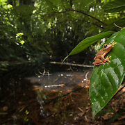 Red webbed tree frog (Rhacophorus rhodopus) male in Kaeng Krachan national park, Thailand