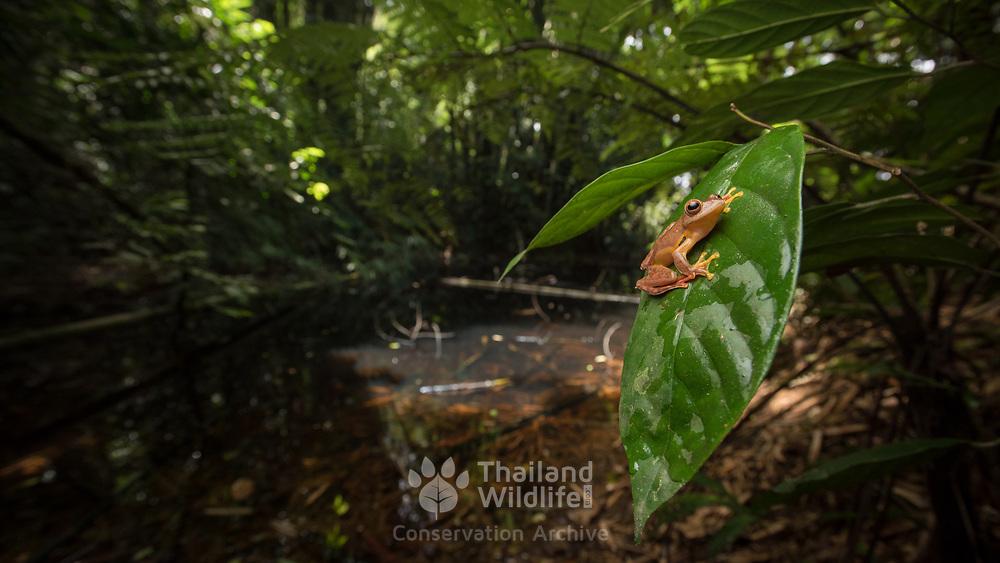 Red webbed tree frog (Rhacophorus rhodopus) male in Kaeng Krachan national park, Thailand