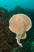 Marbled Electric Ray (Torpedo sinuspersici)<br /> Aliwal shoal<br /> Umkomaas<br /> KwaZulu Natal<br /> SOUTH AFRICA<br /> Range: North America, Japan, Australia, South AfricaMarbled Electric Ray (Torpedo sinuspersici)<br /> Aliwal shoal<br /> Umkomaas<br /> KwaZulu Natal<br /> SOUTH AFRICA